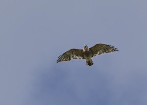 Hawk over big pond, Ashfield