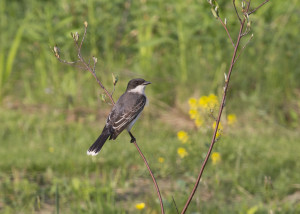 Kingbird, photo by Robert A. Jonas