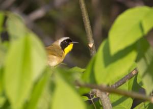 Yellow-throated warbler (photo credit: Robert A. Jonas)