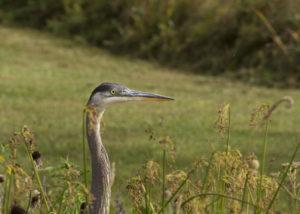 Heron beside Ashfield pond. Photo credit: Robert A. Jonas